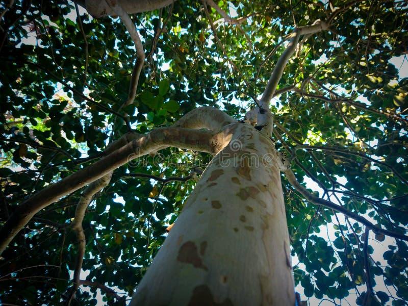 Os troncos do longipetiolatum do Psidium foto de stock