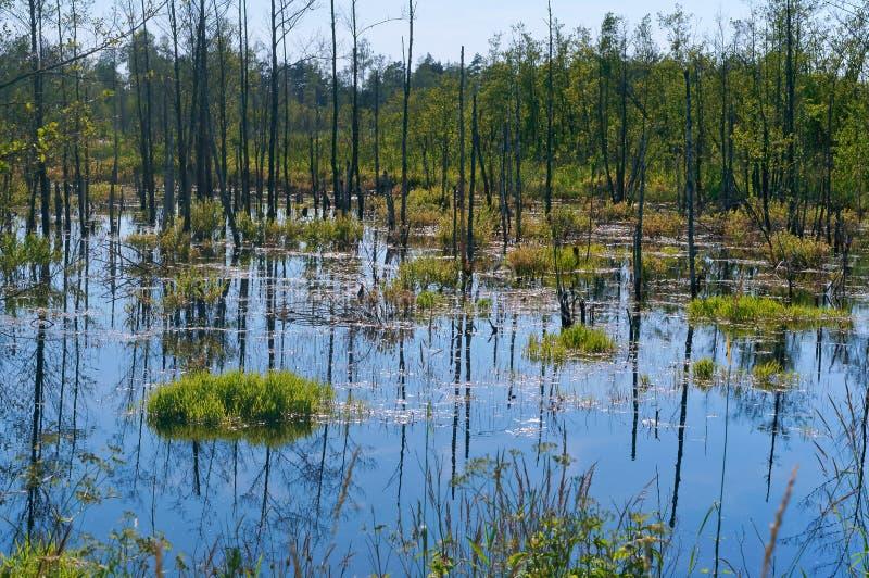 Os troncos do vidoeiro são refletidos no pântano, um pântano pitoresco fotografia de stock