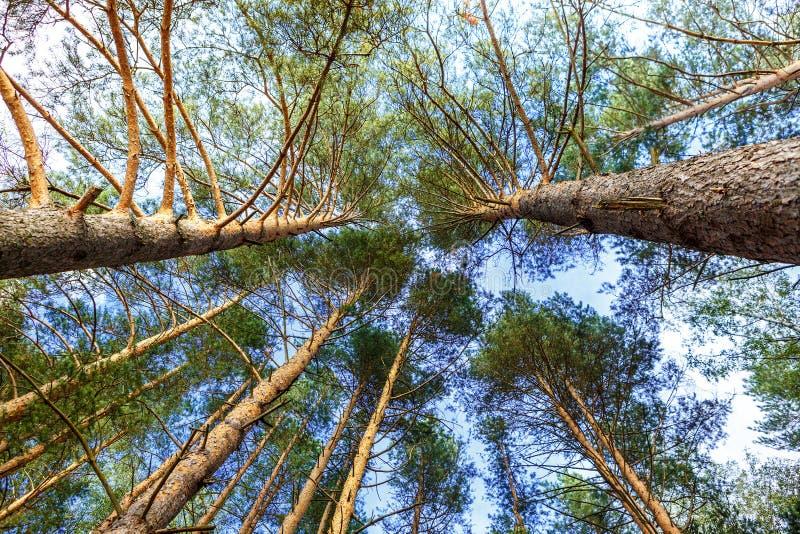 Os troncos dos pinheiros veem de baixo contra do céu imagem de stock royalty free