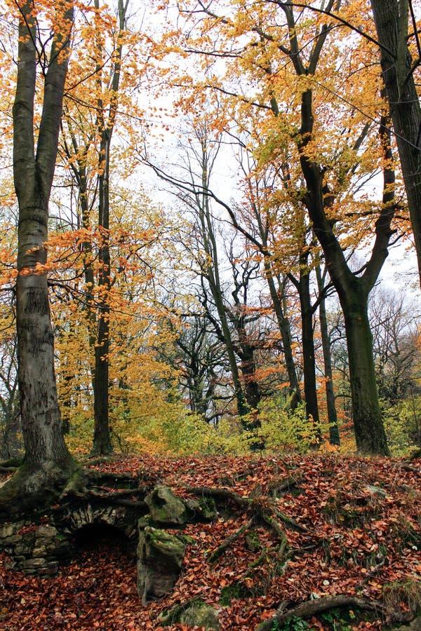 Os troncos dos pinhos cobertos com a hera verde encaracolado na floresta do conto de fadas da floresta no verão e no outono fotos de stock