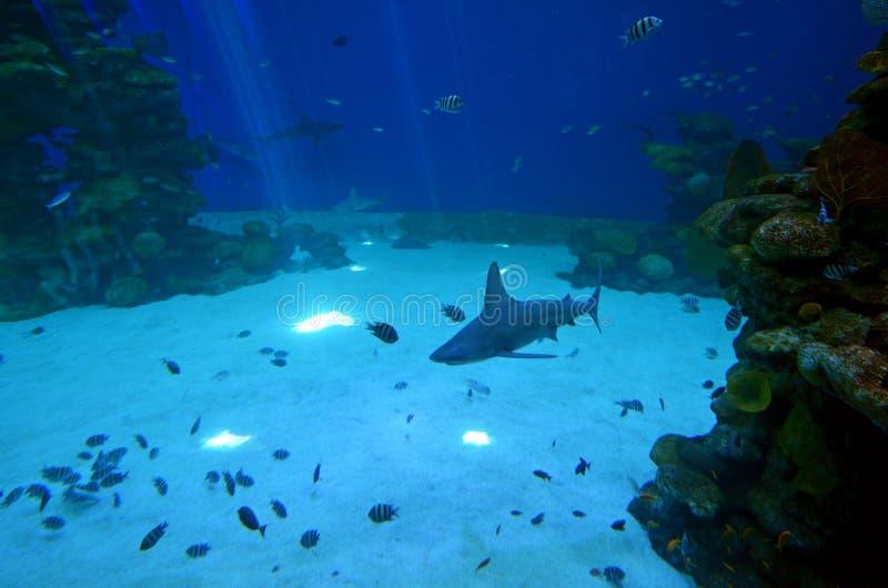 Os tubarões do recife nadam no tubarão Poo em Eilat, Israel foto de stock royalty free