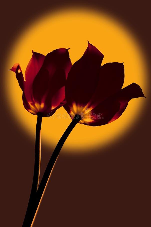 Os Tulips são laranja tonificada imagem de stock