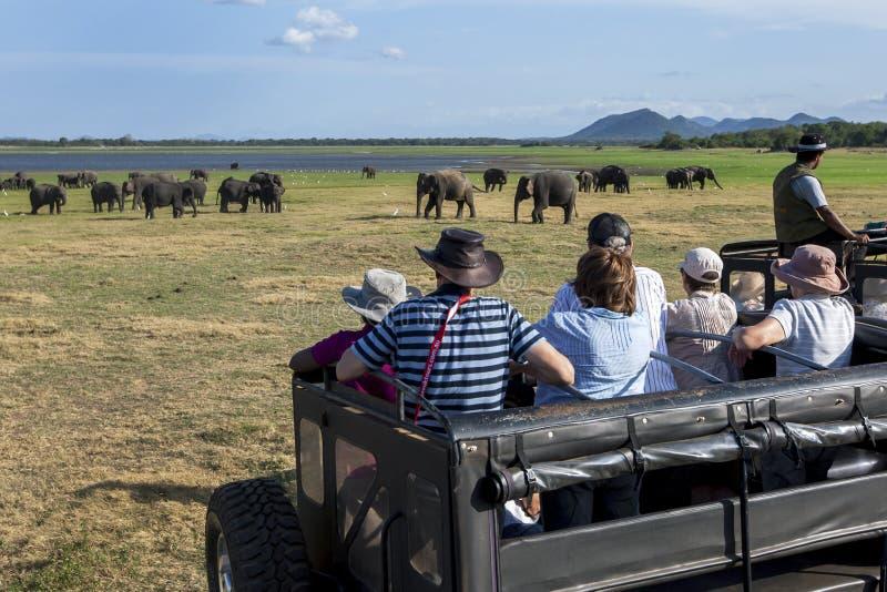 Os turistas a bordo de um jipe do safari olham um rebanho dos elefantes selvagens que pastam no parque nacional de Minneriya em S fotos de stock