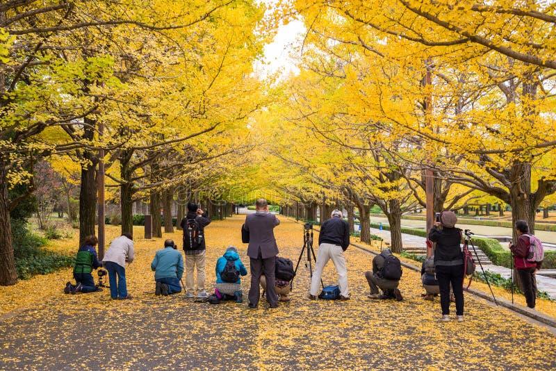 Os turistas estão tomando a foto para as folhas amarelas da nogueira-do-Japão imagens de stock