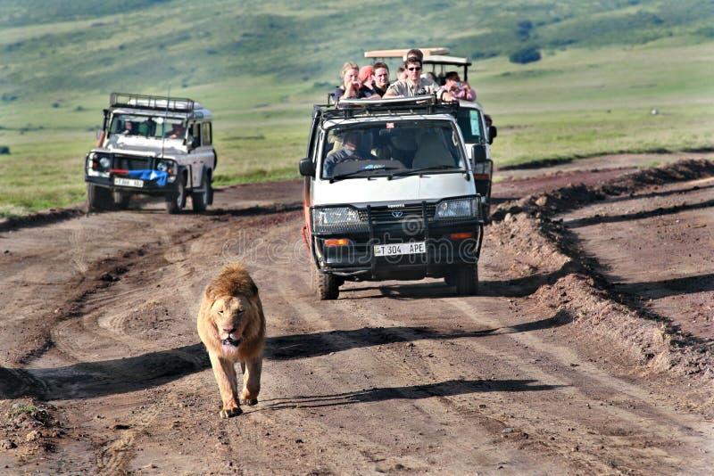 Os turistas montam em jipes para o leão africano selvagem. imagens de stock royalty free