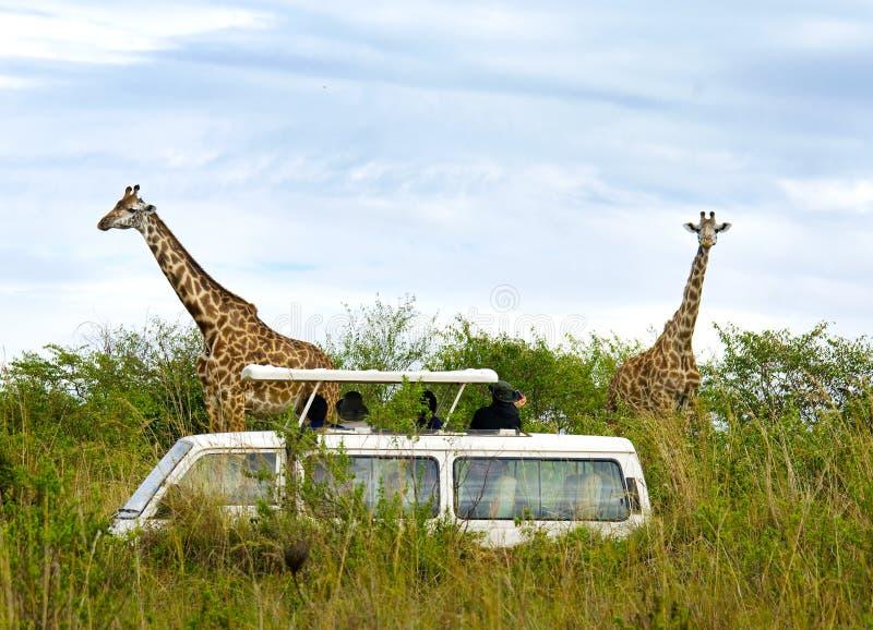 Os turistas no safari tomam imagens dos girafas foto de stock