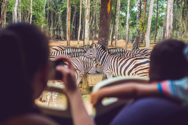 Os turistas olham os animais do ônibus no parque do safari fotografia de stock