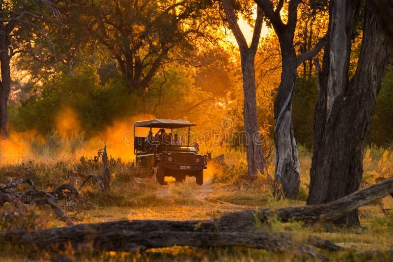 Os turistas que olham o rebanho da impala no jogo da noite conduzem foto de stock