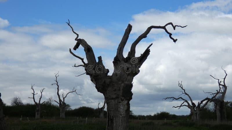 Os?upia?y D?bowych drzew Sta? Wysoki obraz royalty free