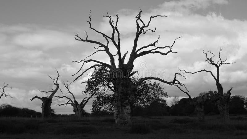 Os?upiali D?bowi drzewa w Czarny I Bia?y obraz royalty free