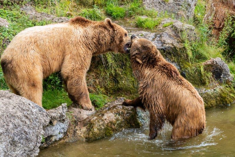 Os ursos amam perto da água imagens de stock