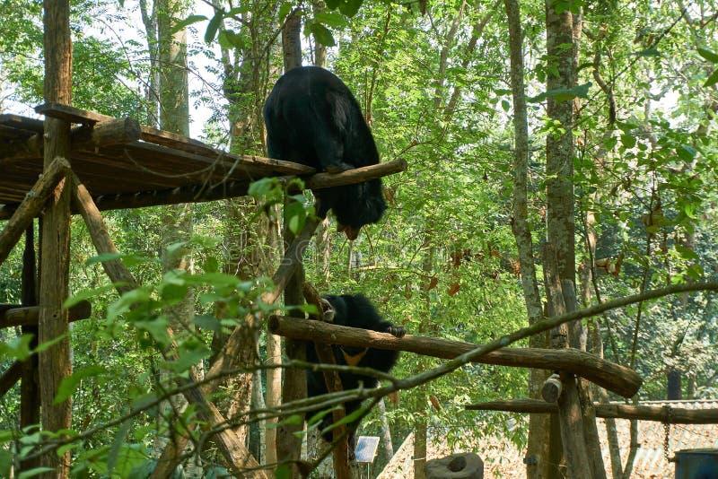 Os ursos de combate no centro do salvamento do urso livram os ursos em Kuangsi, ao lado da cachoeira do kuangsi, Laos foto de stock