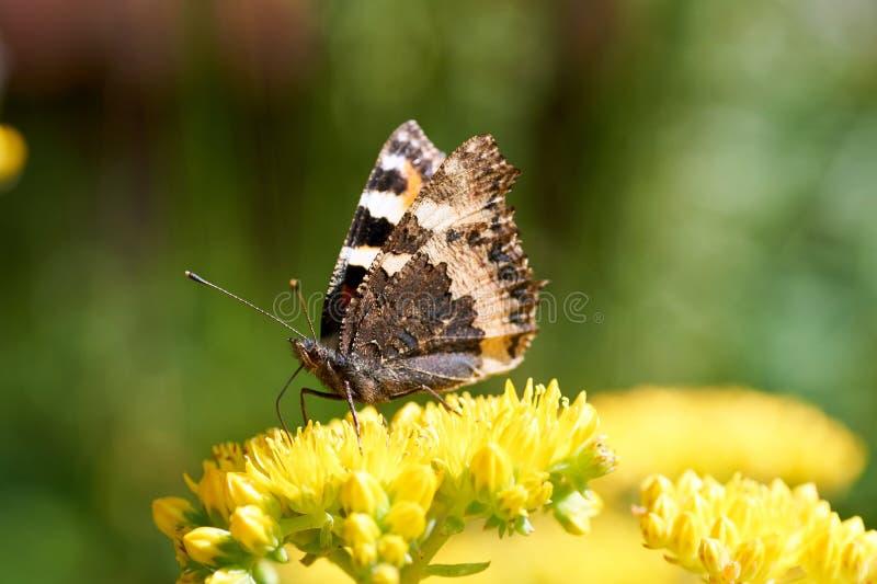 Os urticae de Aglais da borboleta sentam-se em uma flor amarela foto de stock