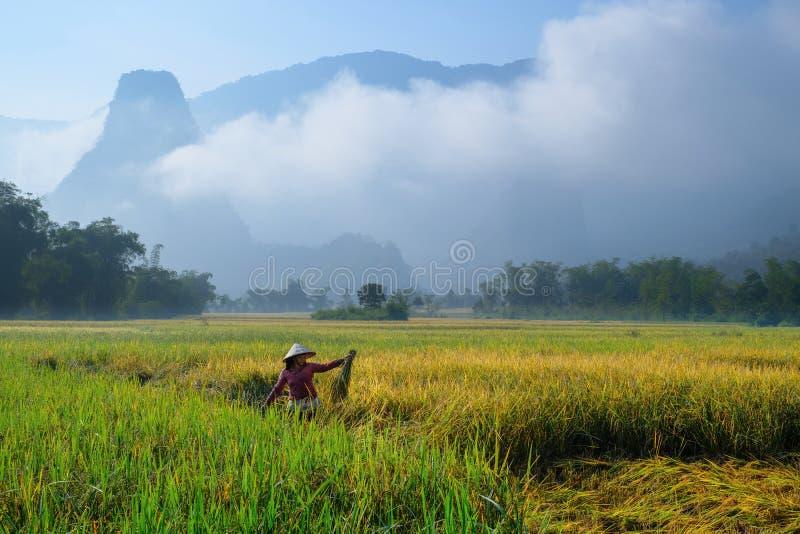 Os vagabundos sejam lagos/Vietname, 04/11/2017: Mulher vietnamiana tradicional com o chapéu cônico que colhe o arroz na frente do foto de stock
