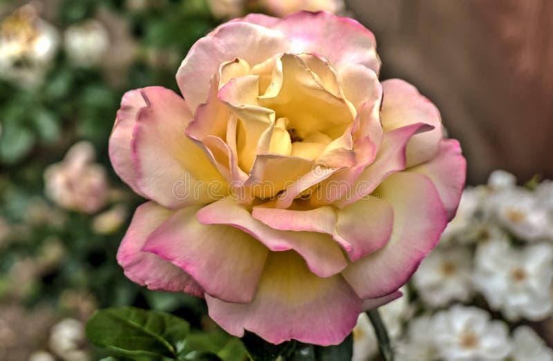 Os Valentim aumentaram em amarelo e branco cor-de-rosa imagens de stock