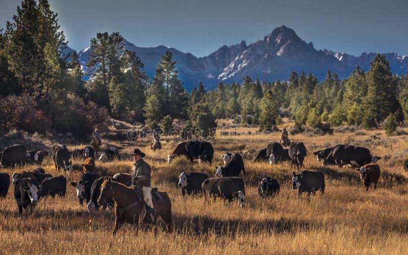 Os vaqueiros no gado conduzem vacas transversais do recolhimento Angus/Hereford e cal imagens de stock royalty free