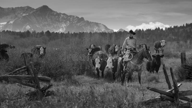 Os vaqueiros no gado conduzem vacas transversais do recolhimento Angus/Hereford e cal fotografia de stock