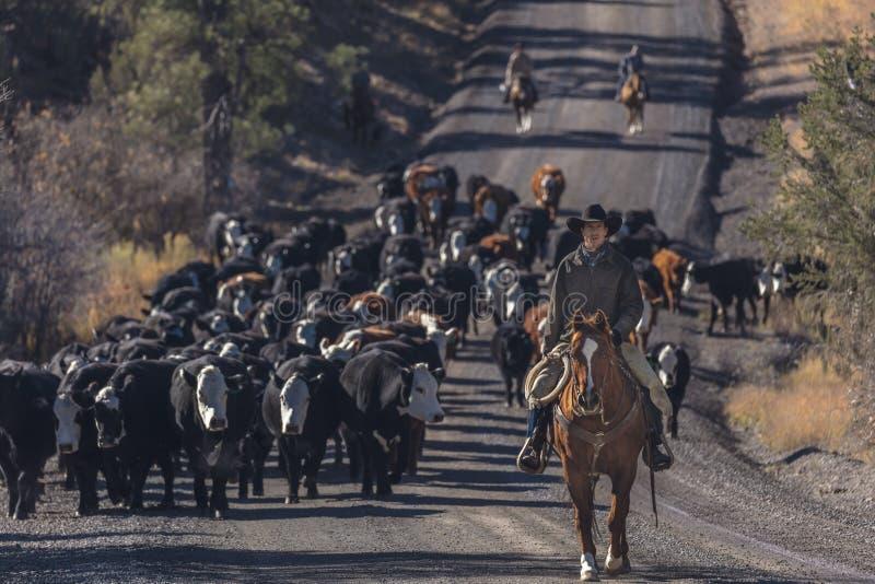 Os vaqueiros no gado conduzem vacas transversais do recolhimento Angus/Hereford e cal foto de stock