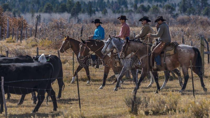 Os vaqueiros no gado conduzem vacas transversais do recolhimento Angus/Hereford e cal foto de stock royalty free