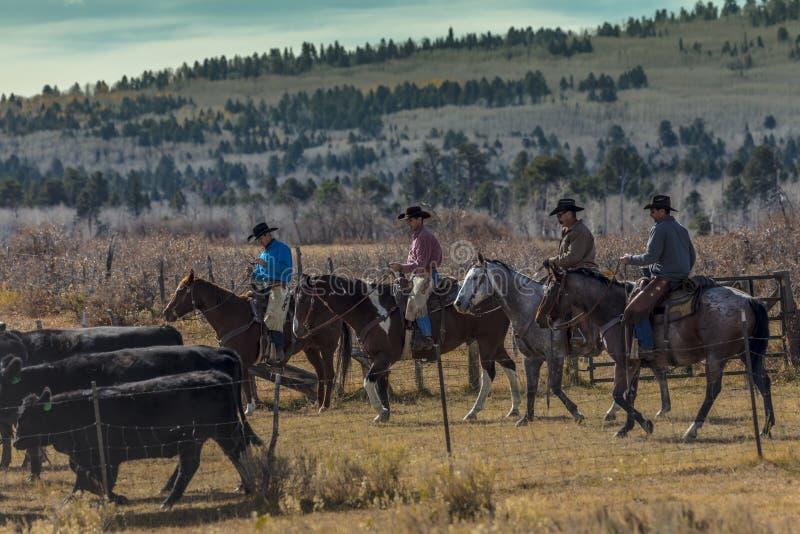 Os vaqueiros no gado conduzem vacas transversais do recolhimento Angus/Hereford e cal fotografia de stock royalty free