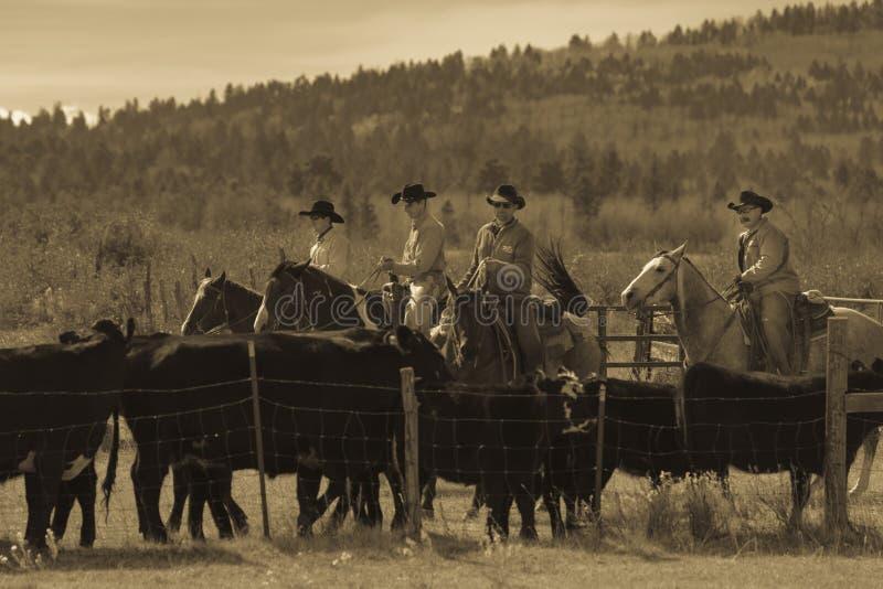 Os vaqueiros no gado conduzem vacas transversais do recolhimento Angus/Hereford e cal imagens de stock