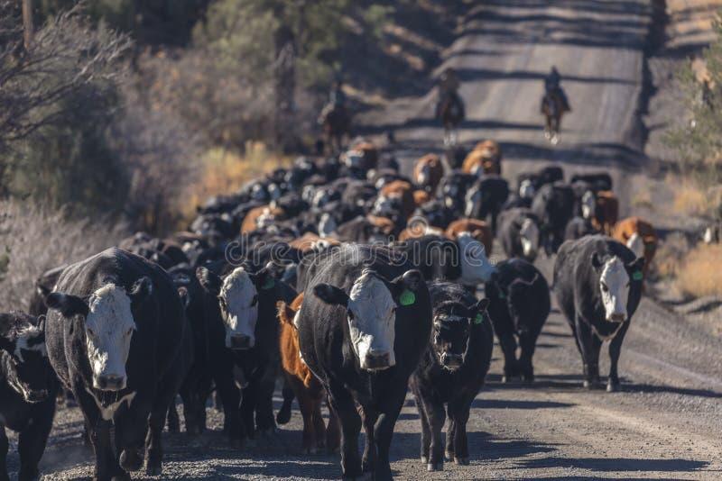 Os vaqueiros no gado conduzem vacas transversais do recolhimento Angus/Hereford e cal fotos de stock royalty free