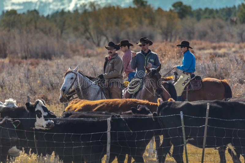 Os vaqueiros no gado conduzem vacas transversais do recolhimento Angus/Hereford e cal imagem de stock