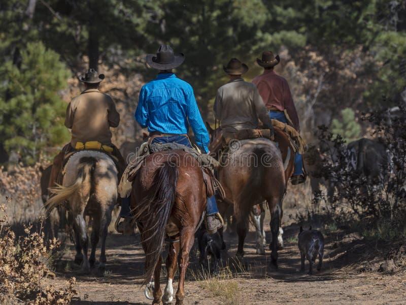 Os vaqueiros no gado conduzem vacas transversais do recolhimento Angus/Hereford e cal imagem de stock royalty free