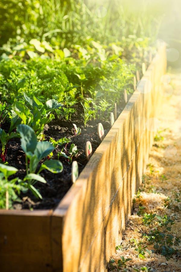 Os vegetais crescem em uma cama de madeira do jardim fotografia de stock