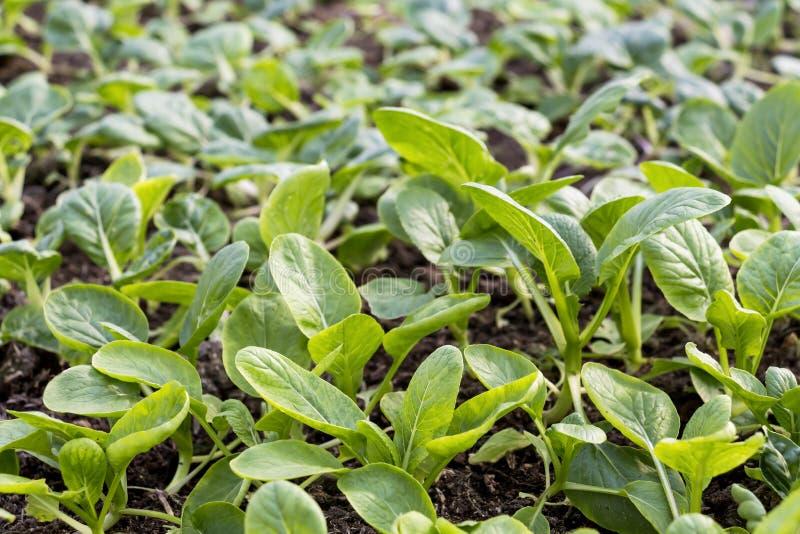 Os vegetais cultivam a plantação interna por orgânico não-tóxico com as folhas verdes bonitas são crescidos para o alimento saudá fotos de stock