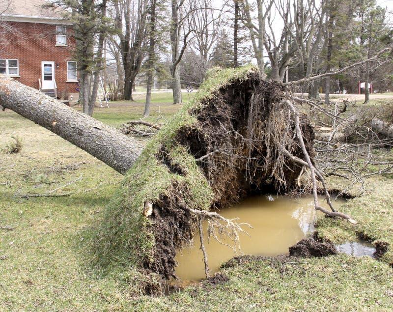 Os ventos do furacão desarraigam um pinheiro imagens de stock
