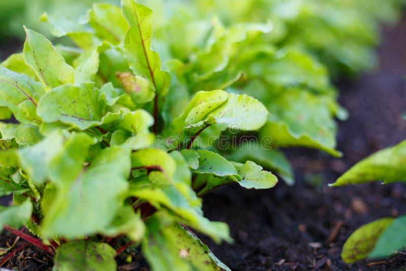 Os verdes de beterraba crescem na cama vegetal no jardim vegetal imagens de stock royalty free