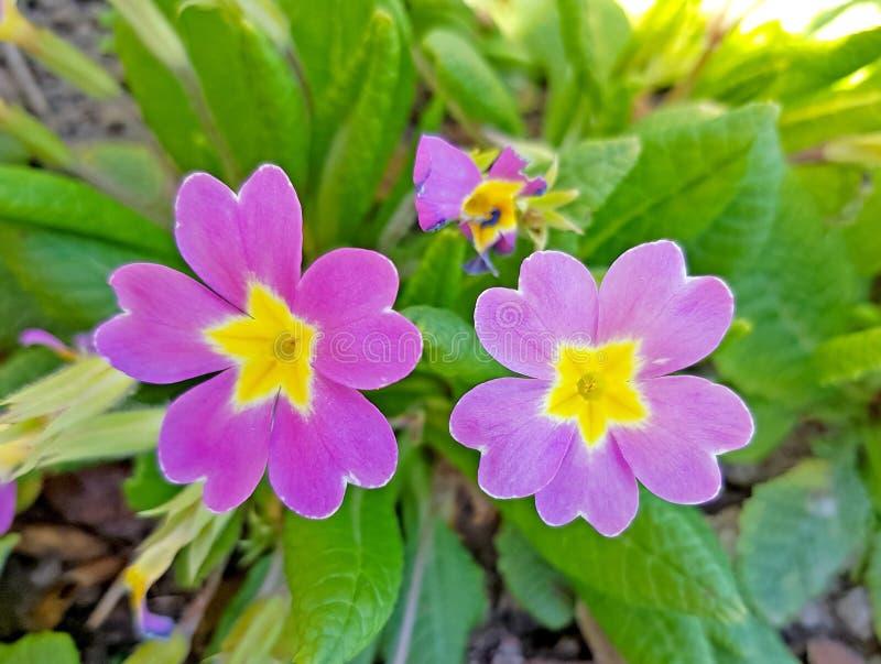 Os veris da pr?mula igualmente chamaram a flor da pr?mula Pétalas roxas e pólen amarelo foto de stock
