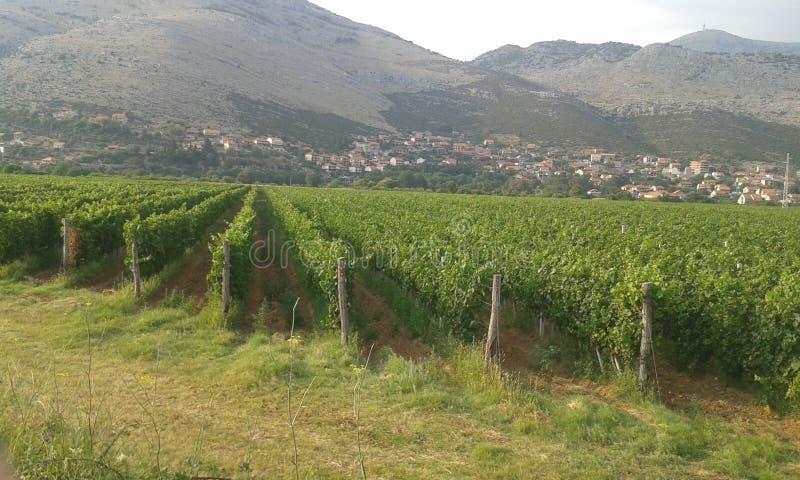 Os vinhedos de Bósnia fotografia de stock royalty free