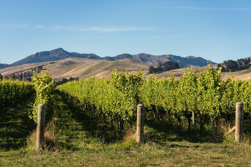 Os vinhedos em murcham montes, Nova Zelândia imagens de stock