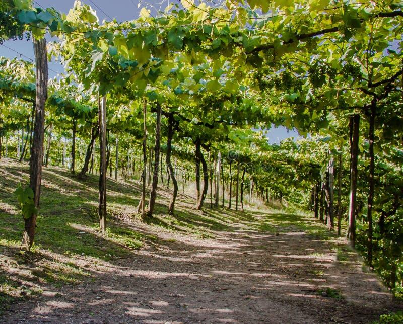 Os vinhedos em Rio Grande fazem Sul foto de stock