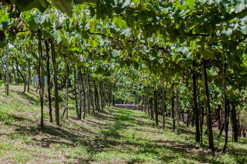 Os vinhedos em Rio Grande fazem Sul foto de stock royalty free