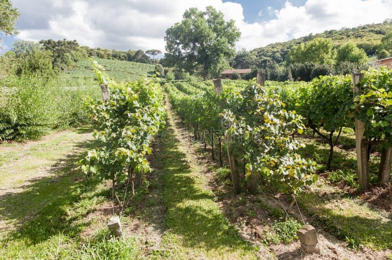 Os vinhedos em Rio Grande fazem Sul imagens de stock