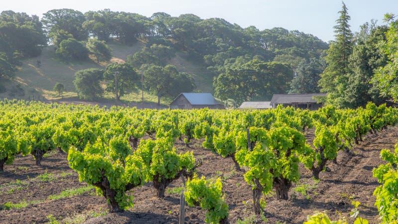 Os vinhedos luxúrias iluminam primeiramente Califórnia fotos de stock