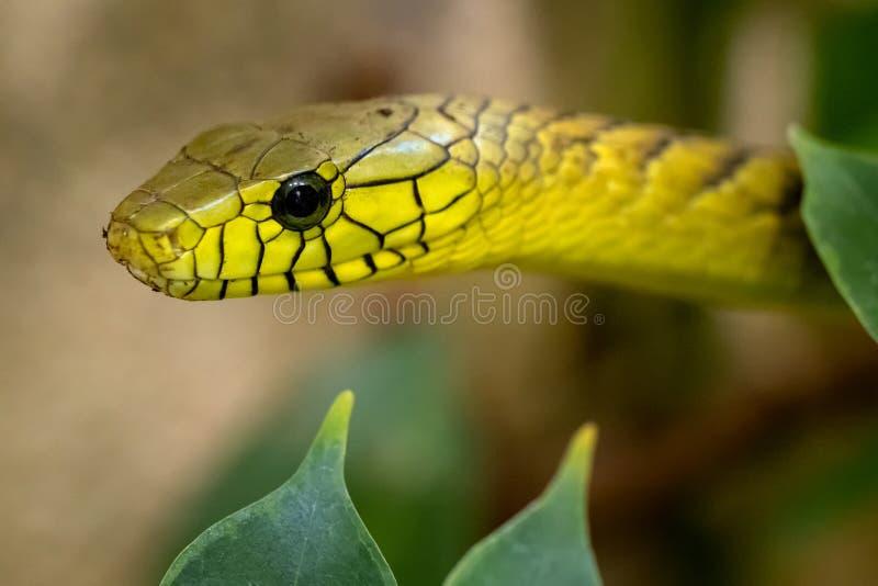 Os viridis do Dendroaspis da mamba verde, uma serpente pe?onhento foto de stock