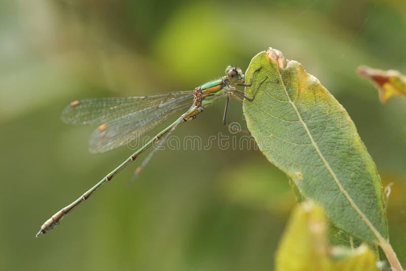 Os viridis raros impressionantes de Willow Emerald Damselfly Chalcolestes empoleiraram-se em uma folha do salgueiro fotografia de stock