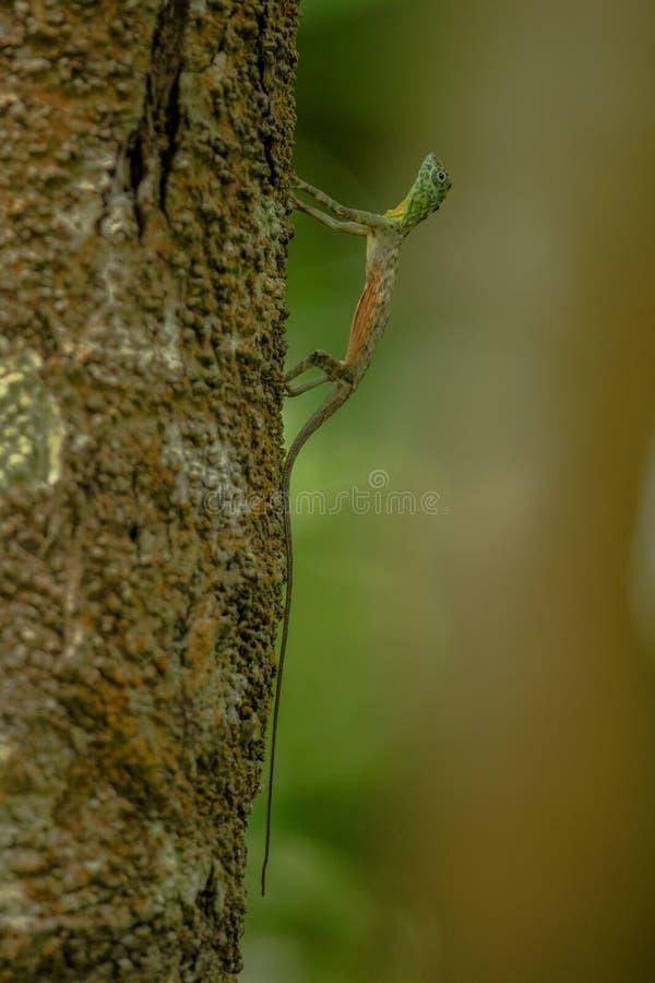 Os volans do Draco, o dragão de voo comum na árvore no parque nacional de Tangkoko, Sulawesi, são umas espécies de lagarto endêmi fotos de stock