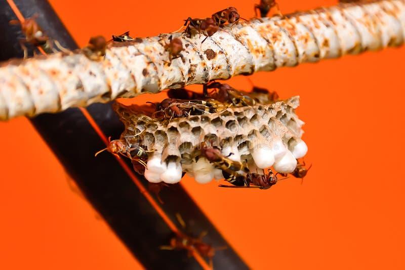 Os zangões estão tomando das larvas em seu ninho fotos de stock royalty free