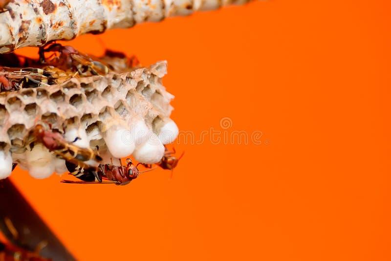 Os zangões estão tomando das larvas em seu ninho foto de stock