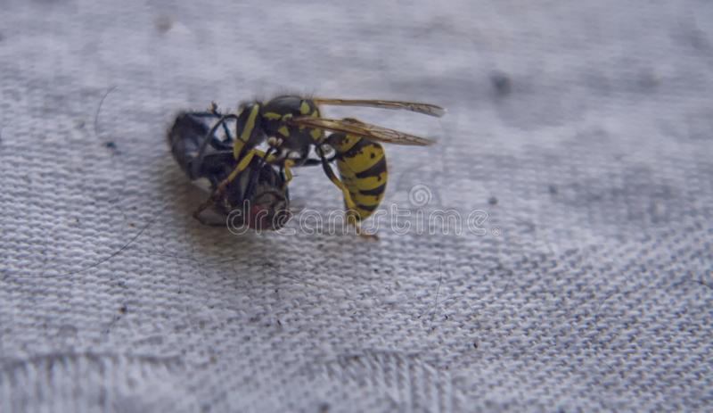 Osa bój z komarnicą na stole fotografia royalty free