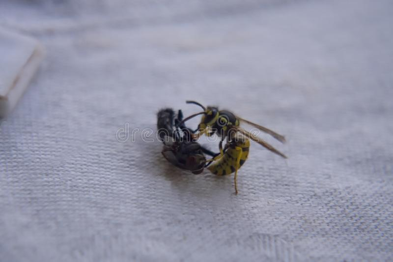 Osa bój z komarnicą na stole obrazy royalty free