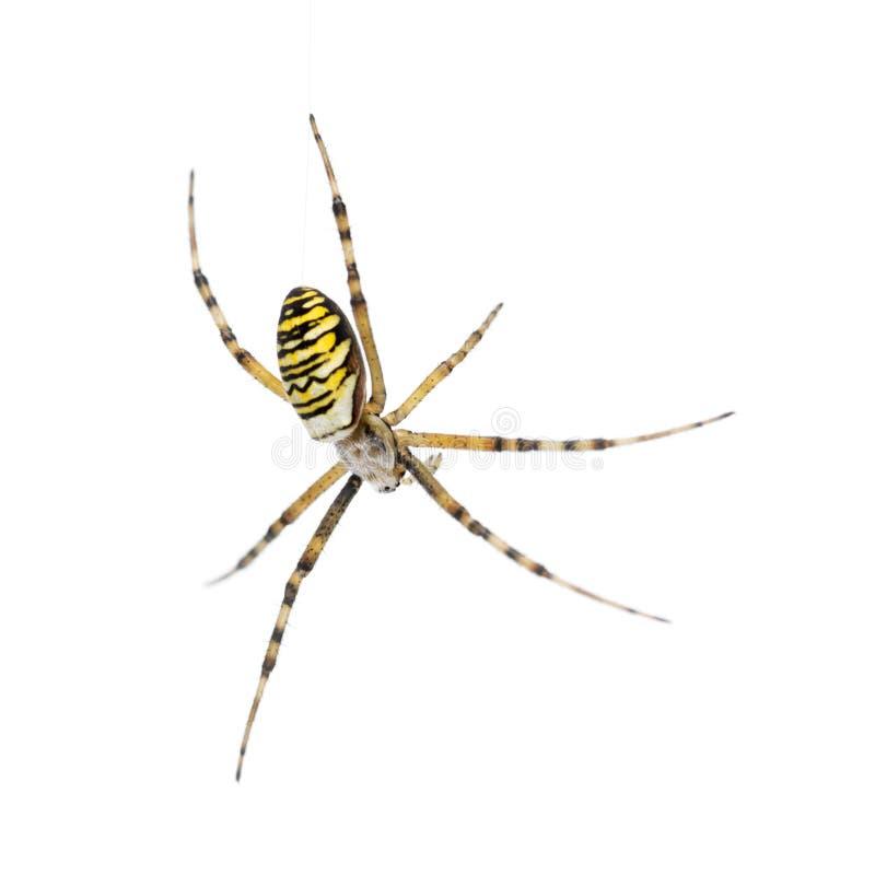 Osa pająk, target854_1_ na sieci Argiope bruennichi, zdjęcia stock