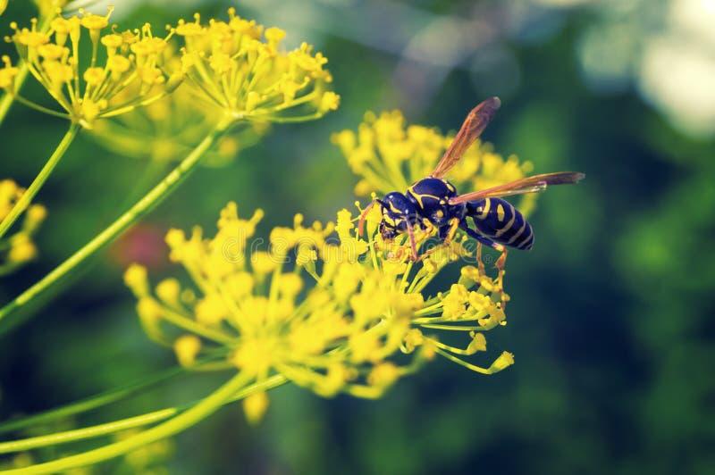 Osa zbiera nektar obrazy royalty free