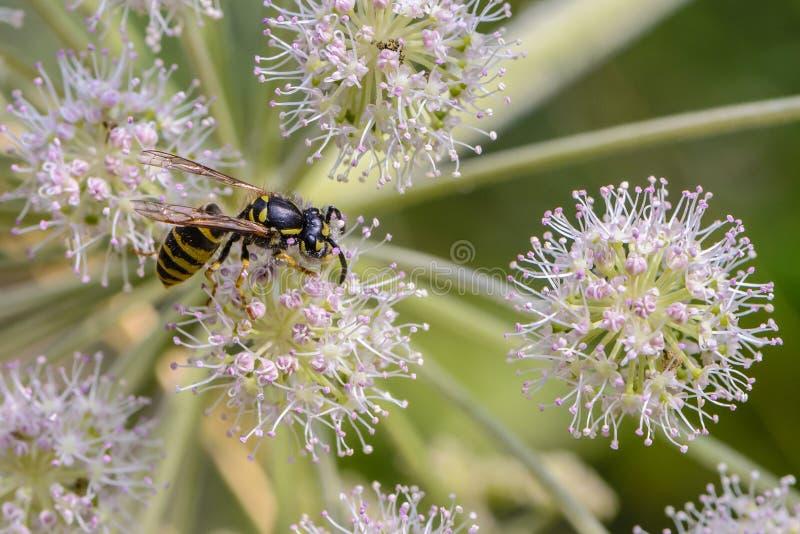 Osa zbiera nektar na pączku kwitnienie hogweed zdjęcie stock