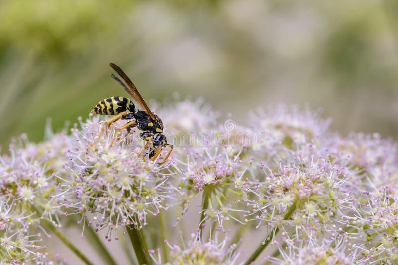 Osa zbiera nektar na pączku kwitnienie hogweed obrazy stock